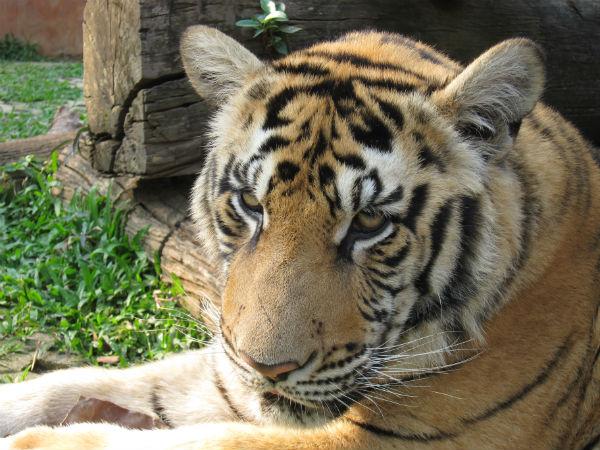 Tygr Thajsko