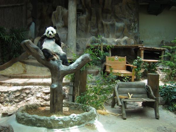 Panda Chiang Mai zoo